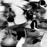 Abstract of Pintail Duck group (Anas acuta), Nagano Prefecture, Japan